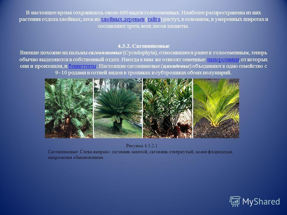 Значительно более сложными по строению являлись семенные папоротники (Pteridospermophyta или Lyginodendrophyta), выделяемые сейчас в самостоятельный отдел. Это были древовидные растения, внешним обликом и строением листьев напоминавшие настоящие папо