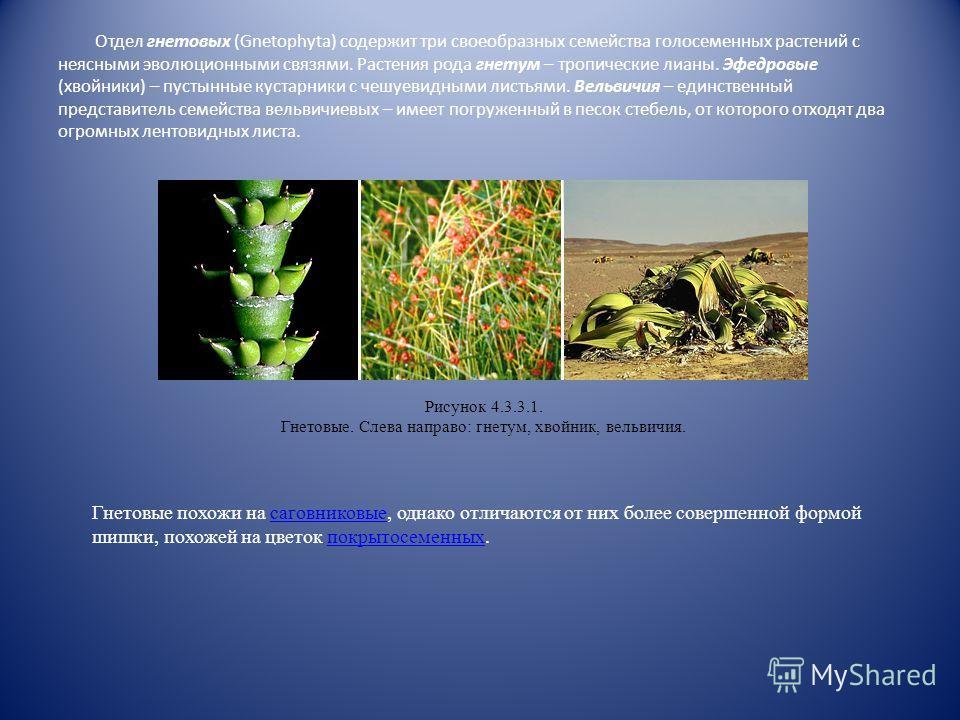 Саговниковые – двудомные растения; на каждой особи образуются репродуктивные органы исключительно одного пола. Мужские шишки имеют длину до 80 см, женские – до 1 м (у африканского саговника; весят шишки при этом до 40 кг). Сперматозоиды цератозамы ме