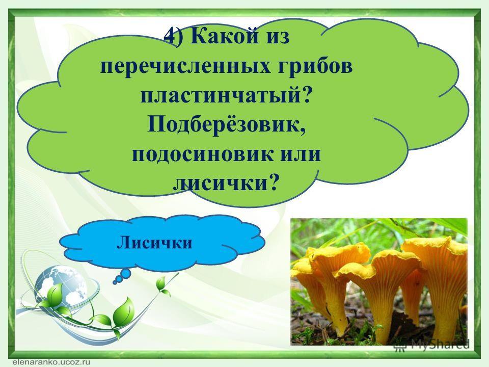 4) Какой из перечисленных грибов пластинчатый? Подберёзовик, подосиновик или лисички? Лисички