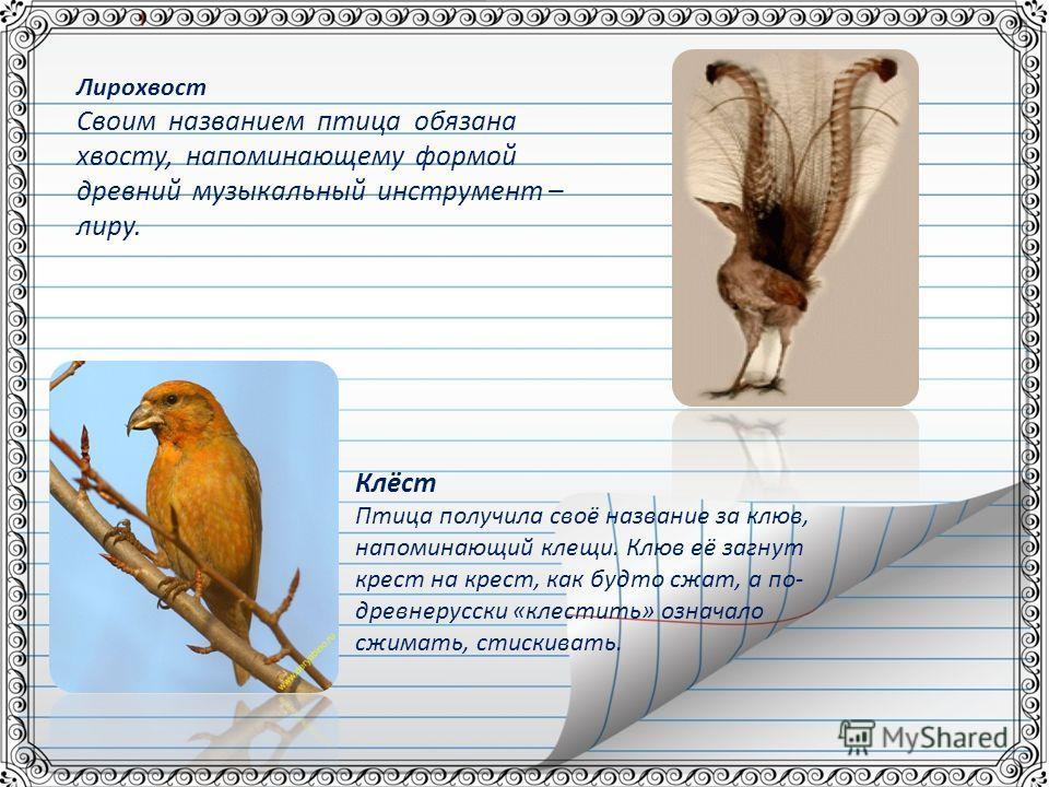 Клёст Птица получила своё название за клюв, напоминающий клещи. Клюв её загнут крест на крест, как будто сжат, а по- древнерусски «клестить» означало сжимать, стискивать. Лирохвост Своим названием птица обязана хвосту, напоминающему формой древний му