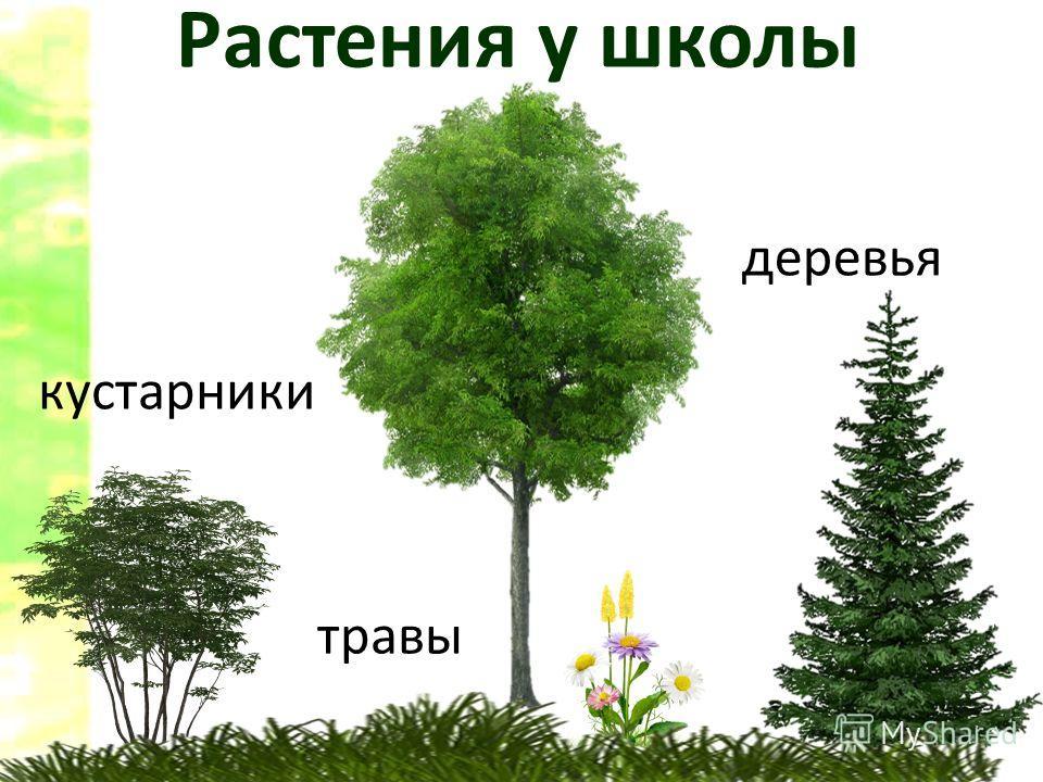 Растения у школы деревья кустарники травы