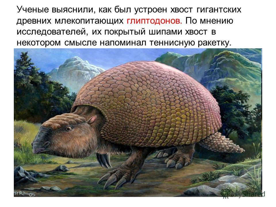 Ученые выяснили, как был устроен хвост гигантских древних млекопитающих глиптодонов. По мнению исследователей, их покрытый шипами хвост в некотором смысле напоминал теннисную ракетку.