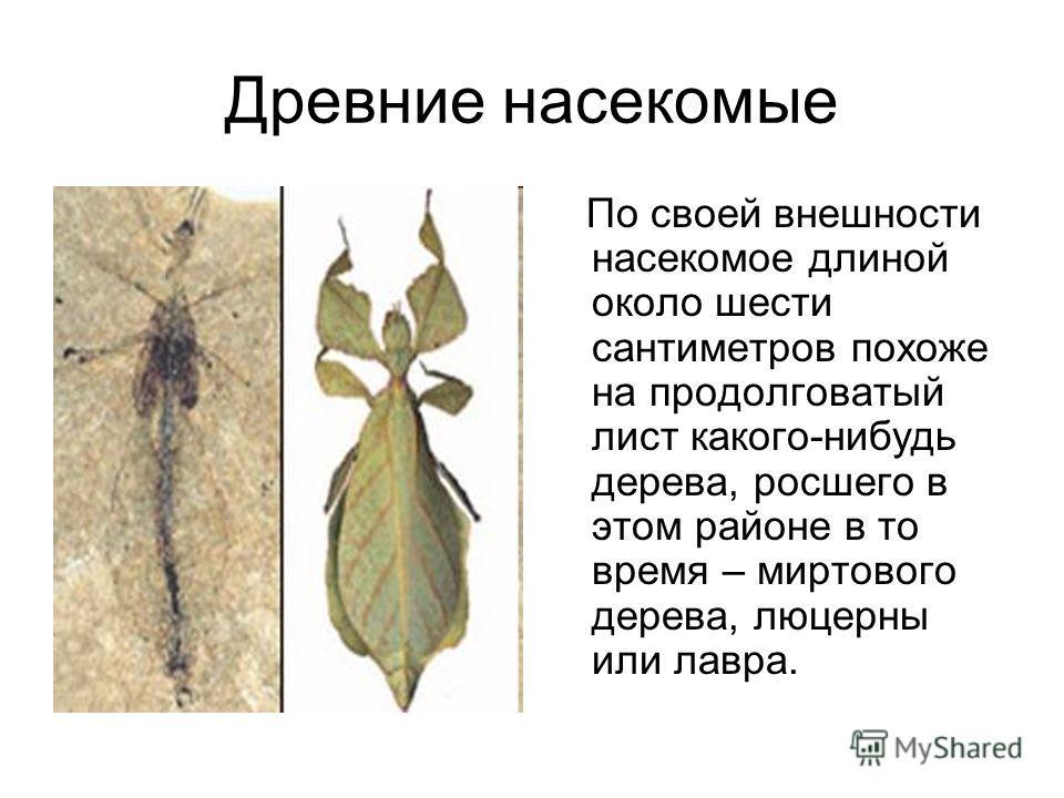 Древние насекомые По своей внешности насекомое длиной около шести сантиметров похоже на продолговатый лист какого-нибудь дерева, росшего в этом районе в то время – миртового дерева, люцерны или лавра.