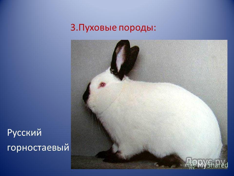 3.Пуховые породы: Русский горностаевый