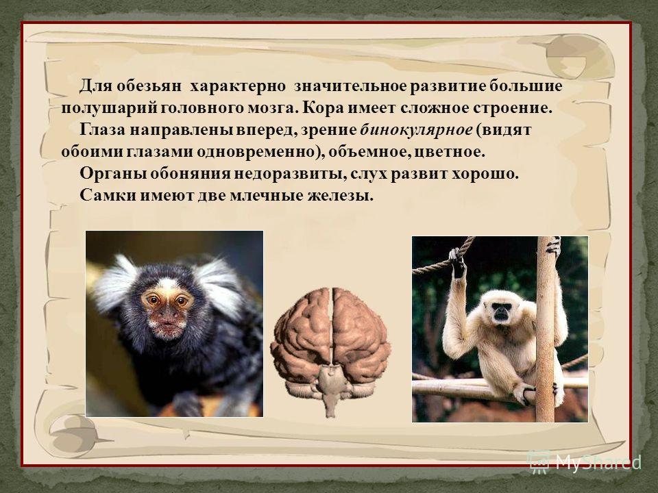 Для обезьян характерно значительное развитие большие полушарий головного мозга. Кора имеет сложное строение. Глаза направлены вперед, зрение бинокулярное (видят обоими глазами одновременно), объемное, цветное. Органы обоняния недоразвиты, слух развит