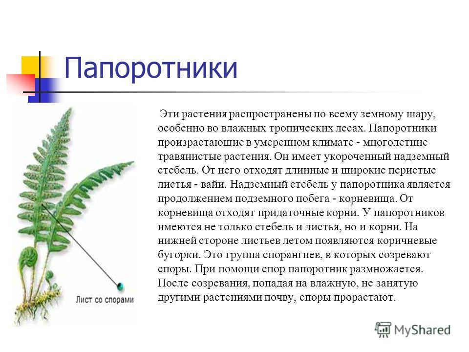 Папоротники Эти растения распространены по всему земному шару, особенно во влажных тропических лесах. Папоротники произрастающие в умеренном климате - многолетние травянистые растения. Он имеет укороченный надземный стебель. От него отходят длинные и