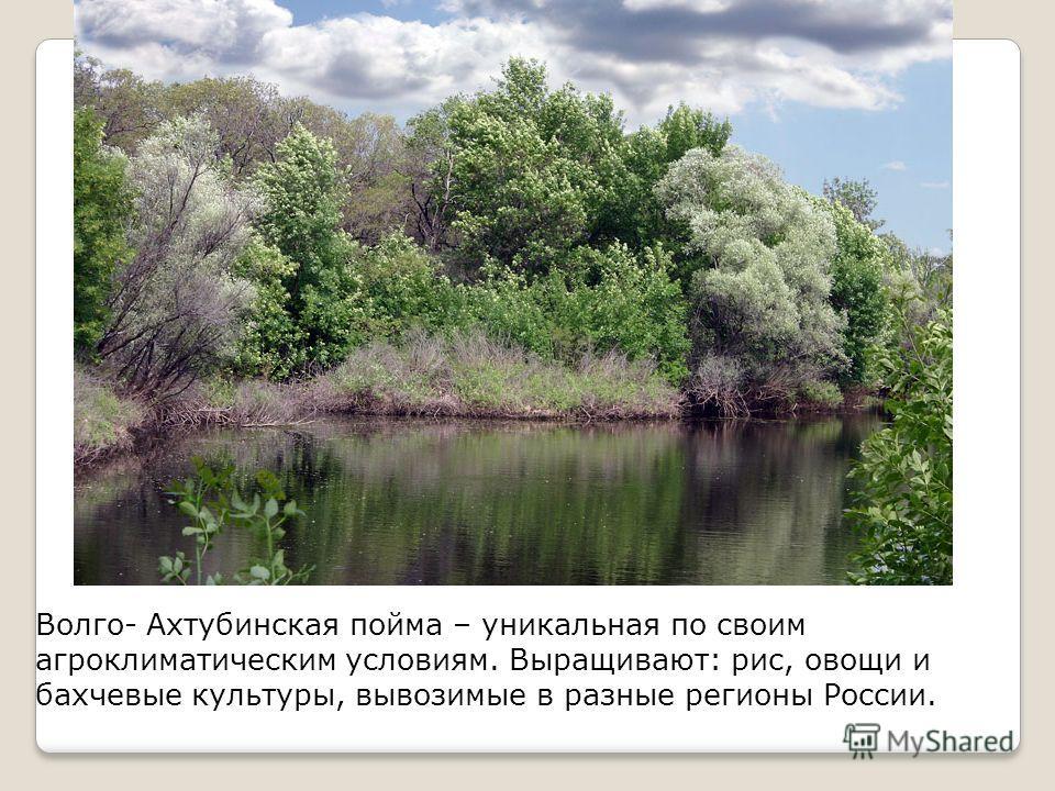 Волго- Ахтубинская пойма – уникальная по своим агроклиматическим условиям. Выращивают: рис, овощи и бахчевые культуры, вывозимые в разные регионы России.