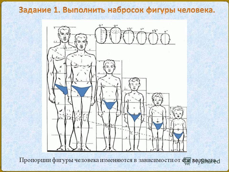 Пропорции фигуры человека изменяются в зависимости от его возраста.