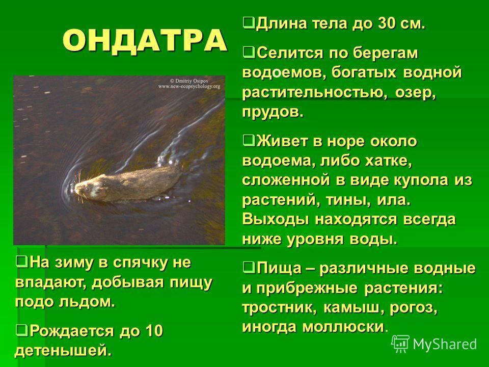 ОНДАТРА Длина тела до 30 см. Длина тела до 30 см. Селится по берегам водемов, богатых водной растительностью, озер, прудов. Селится по берегам водоемов, богатых водной растительностью, озер, прудов. Живет в норе около водоема, либо хатке, сложенной в