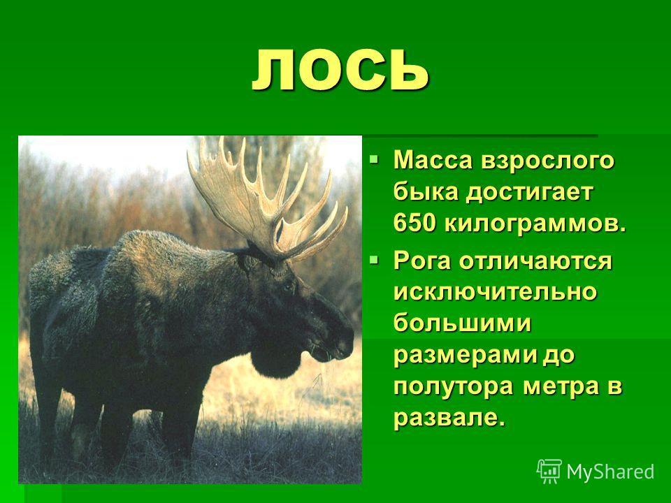 ЛОСЬ Масса взрослого быка достигает 650 килограммов. Масса взрослого быка достигает 650 килограммов. Рога отличаются исключительно большими размерами до полутора метра в развале. Рога отличаются исключительно большими размерами до полутора метра в ра