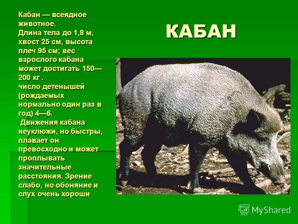 КАБАН Кабан всеядное животное. Длина тела до 1,8 м, хвост 25 см, высота плеч 95 см; вес взрослого кабана может достигать 150 200 кг. число детенышей (рождаемых нормально один раз в год) 46. Движения кабана неуклюжи, но быстры, плавает он превосходно
