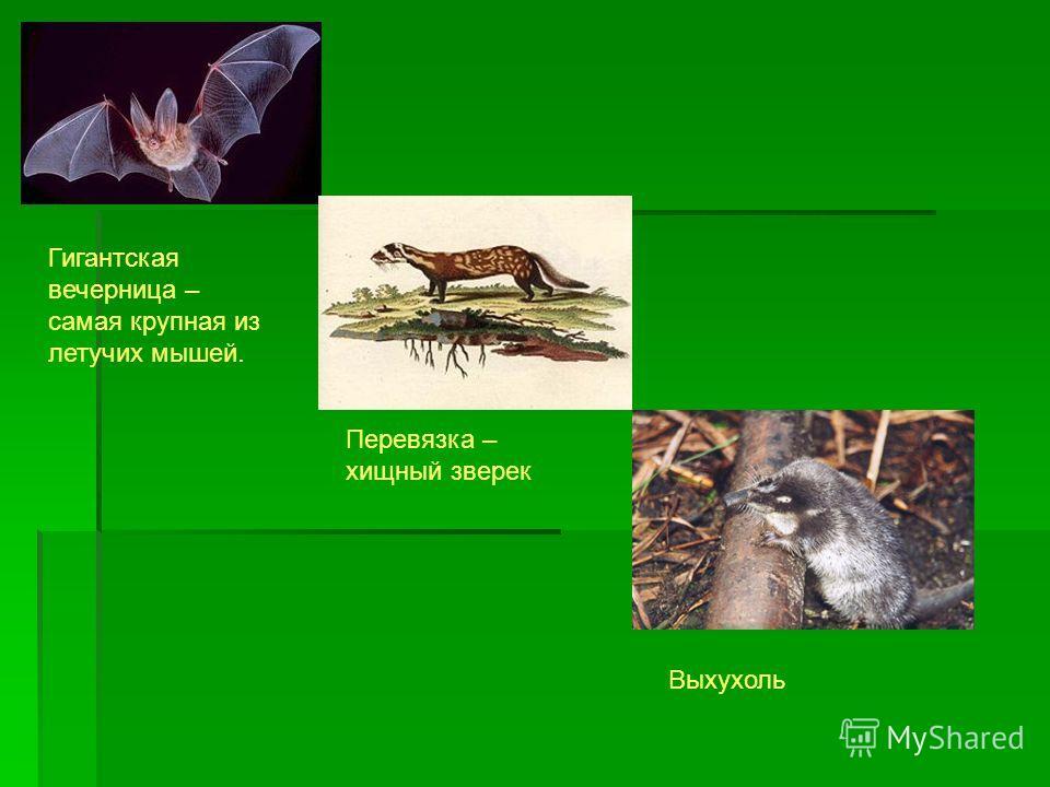 Перевязка – хищный зверек Выхухоль Гигантская вечерница – самая крупная из летучих мышей.