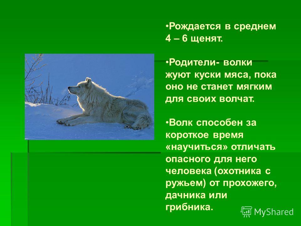 Рождается в среднем 4 – 6 щенят. Родители- волки жуют куски мяса, пока оно не станет мягким для своих волчат. Волк способен за короткое время «научиться» отличать опасного для него человека (охотника с ружьем) от прохожего, дачника или грибника.
