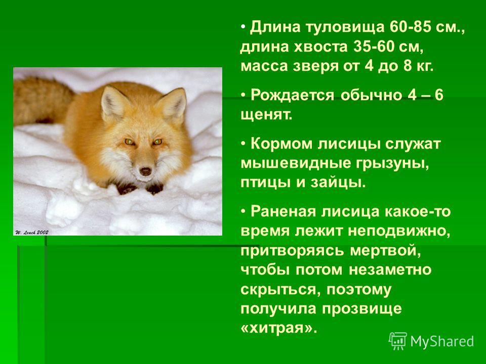 Длина туловища 60-85 см., длина хвоста 35-60 см, масса зверя от 4 до 8 кг. Рождается обычно 4 – 6 щенят. Кормом лисицы служат мышевидные грызуны, птицы и зайцы. Раненая лисица какое-то время лежит неподвижно, притворяясь мертвой, чтобы потом незаметн
