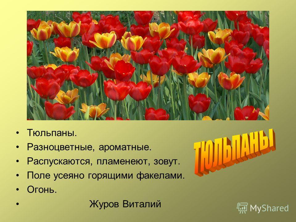 Тюльпаны. Разноцветные, ароматные. Распускаются, пламенеют, зовут. Поле усеяно горящими факелами. Огонь. Журов Виталий