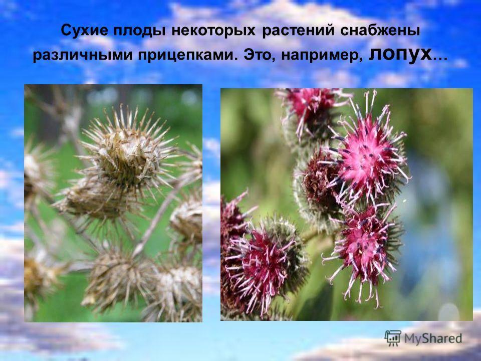 Сухие плоды некоторых растений снабжены различными прицепками. Это, например, лопух …