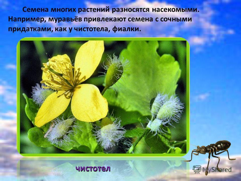 Семена многих растений разносятся насекомыми. Например, муравьёв привлекают семена с сочными придатками, как у чистотела, фиалки. чистотел