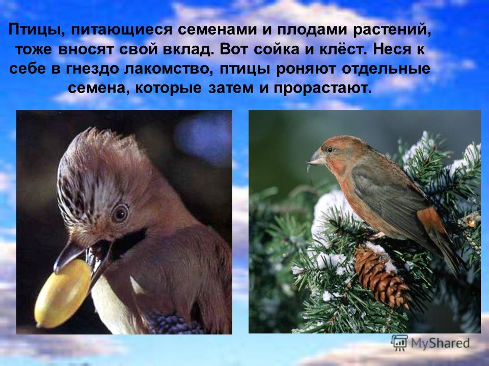 Птицы, питающиеся семенами и плодами растений, тоже вносят свой вклад. Вот сойка и клёст. Неся к себе в гнездо лакомство, птицы роняют отдельные семена, которые затем и прорастают.
