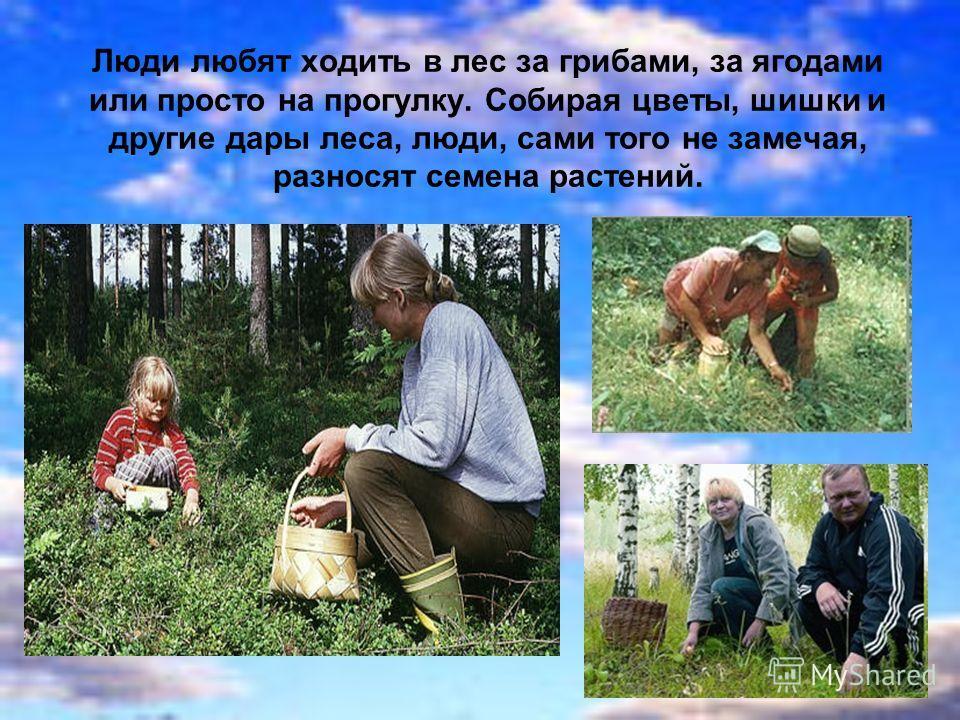 Люди любят ходить в лес за грибами, за ягодами или просто на прогулку. Собирая цветы, шишки и другие дары леса, люди, сами того не замечая, разносят семена растений.