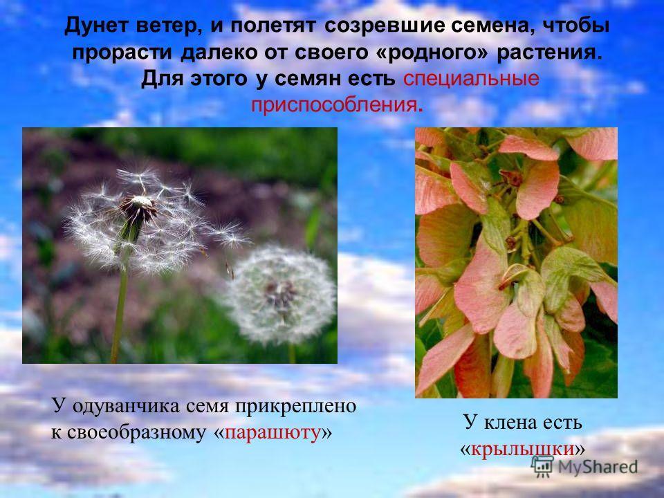 Дунет ветер, и полетят созревшие семена, чтобы прорасти далеко от своего «родного» растения. Для этого у семян есть специальные приспособления. У одуванчика семя прикреплено к своеобразному «парашюту» У клена есть «крылышки»