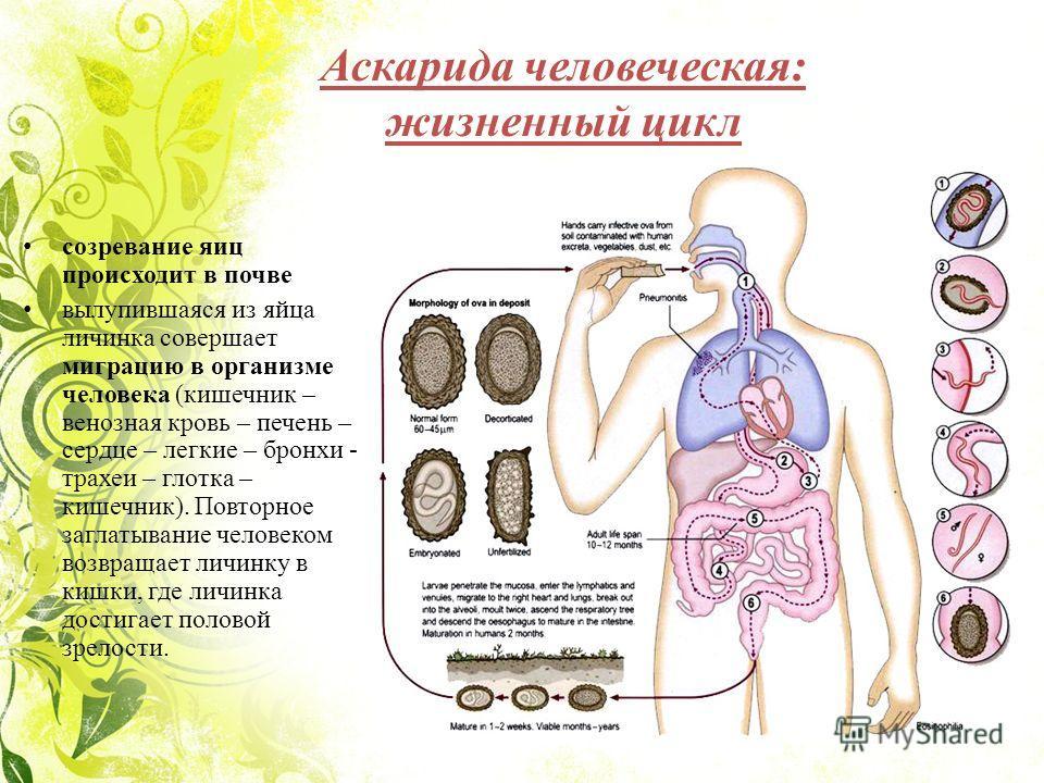 Аскарида человеческая: жизненный цикл созревание яиц происходит в почве вылупившаяся из яйца личинка совершает миграцию в организме человека (кишечник – венозная кровь – печень – сердце – легкие – бронхи - трахеи – глотка – кишечник). Повторное загла