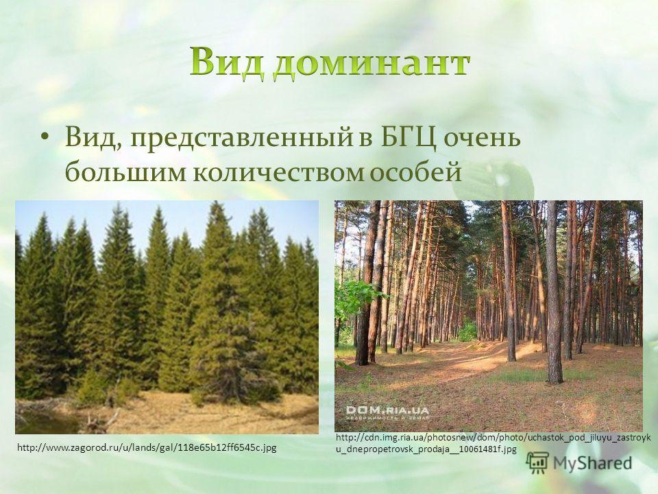 Вид, представленный в БГЦ очень большим количеством особей http://www.zagorod.ru/u/lands/gal/118e65b12ff6545c.jpg http://cdn.img.ria.ua/photosnew/dom/photo/uchastok_pod_jiluyu_zastroyk u_dnepropetrovsk_prodaja__10061481f.jpg