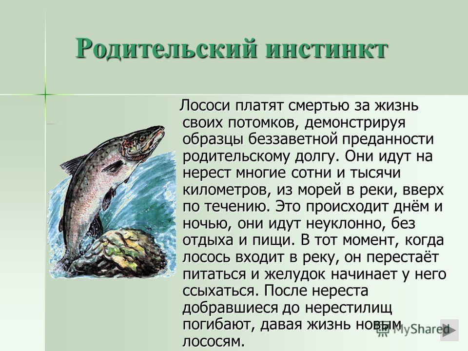 Родительский инстинкт Лососи платят смертью за жизнь своих потомков, демонстрируя образцы беззаветной преданности родительскому долгу. Они идут на нерест многие сотни и тысячи километров, из морей в реки, вверх по течению. Это происходит днём и ночью