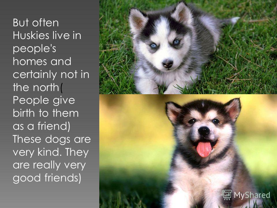 But often Huskies live in people's homes and certainly not in the north( People give birth to them as a friend) These dogs are very kind. They are really very good friends)