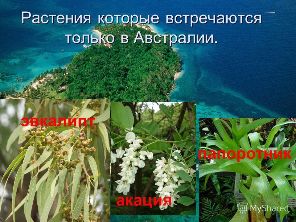 Растения которые встречаются только в Австралии. эвкалипт акация папоротник