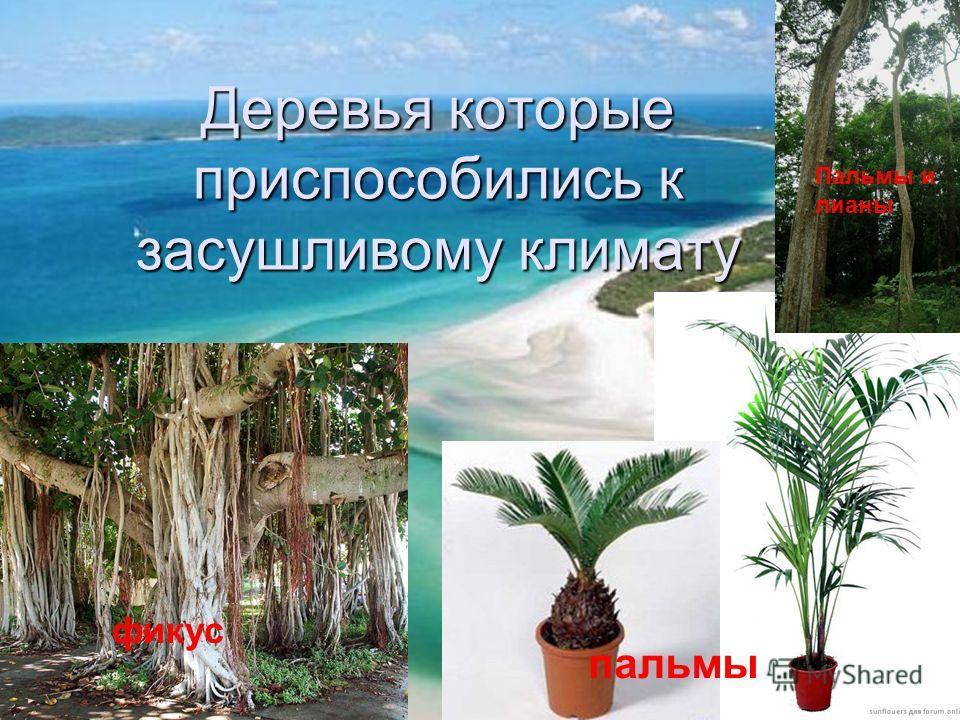 Деревья которые приспособились к засушливому климату фикус пальмы Пальмы и лианы