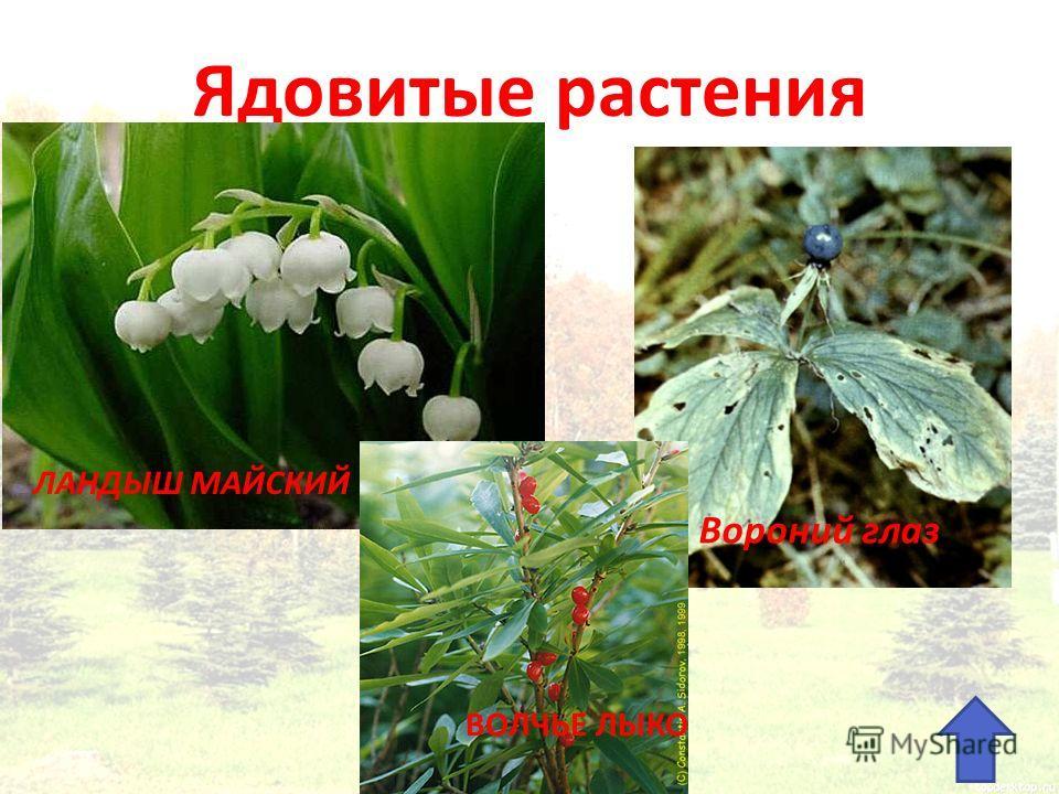 Ядовитые растения ЛАНДЫШ МАЙСКИЙ ВОЛЧЬЕ ЛЫКО Вороний глаз