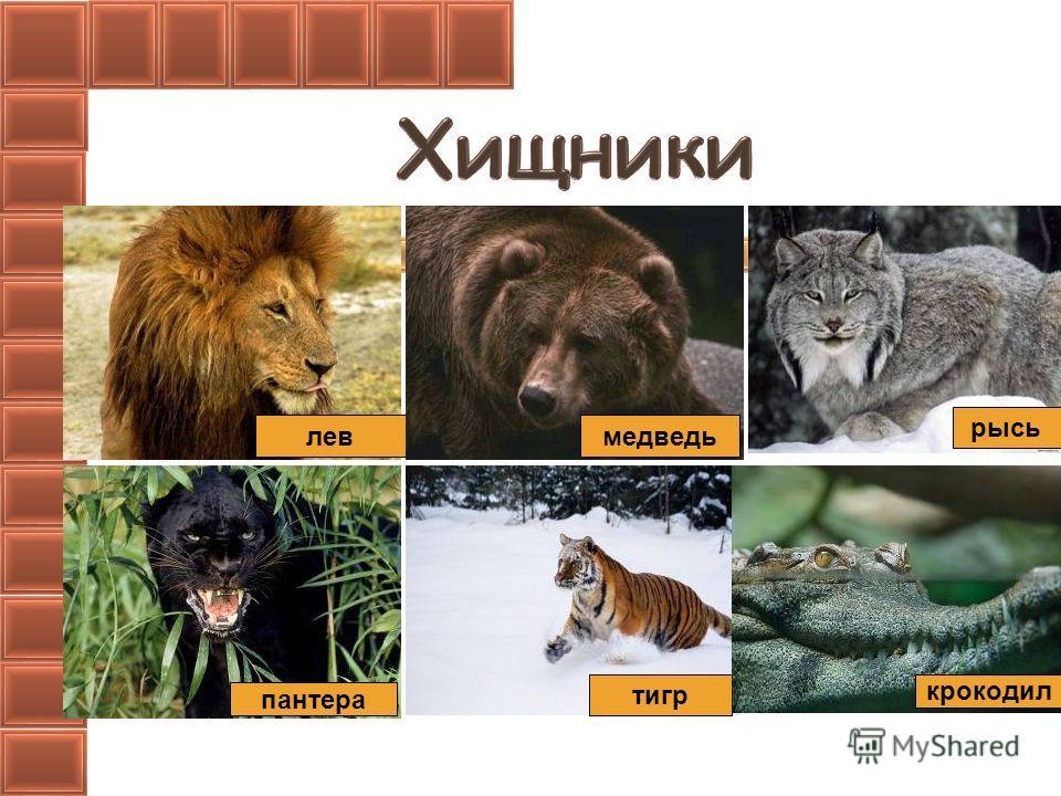 левмедведь рысь пантера тигр крокодил