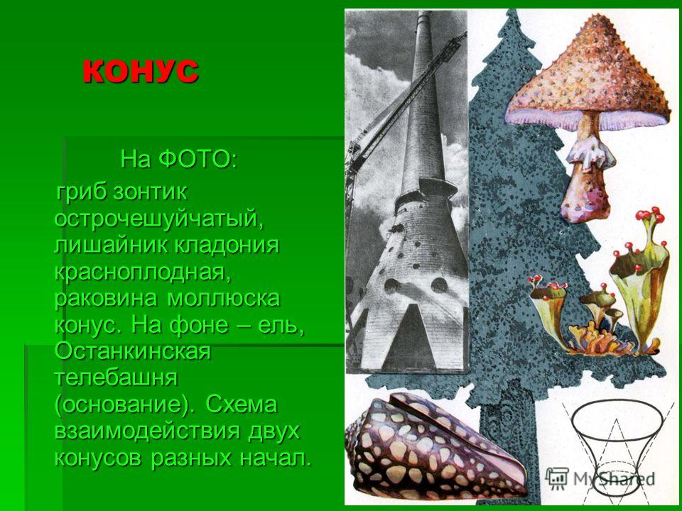 КОНУС На ФОТО: гриб зонтик острочешуйчатый, лишайник кладония красноплодная, раковина моллюска конус. На фоне – ель, Останкинская телебашня (основание). Схема взаимодействия двух конусов разных начал. гриб зонтик острочешуйчатый, лишайник кладония кр