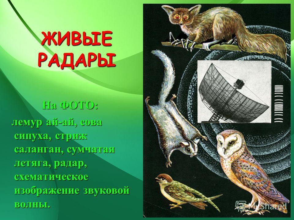 ЖИВЫЕ РАДАРЫ На ФОТО: лемур ай-ай, сова сипуха, стриж саланган, сумчатая летяга, радар, схематическое изображение звуковой волны. лемур ай-ай, сова сипуха, стриж саланган, сумчатая летяга, радар, схематическое изображение звуковой волны.