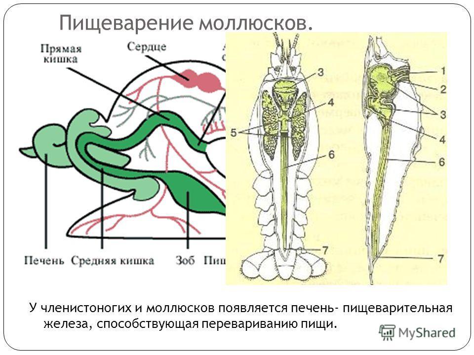 Пищеварение моллюсков. У членистоногих и моллюсков появляется печень- пищеварительная железа, способствующая перевариванию пищи.