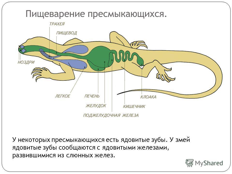 Пищеварение пресмыкающихся. У некоторых пресмыкающихся есть ядовитые зубы. У змей ядовитые зубы сообщаются с ядовитыми железами, развившимися из слюнных желез.