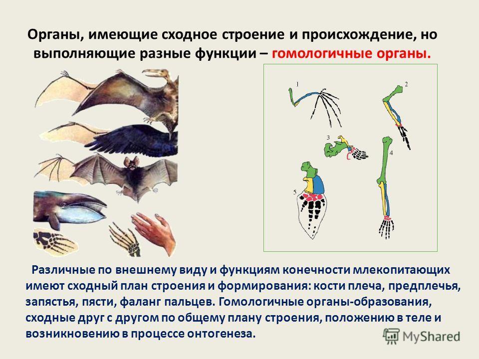 Органы, имеющие сходное строение и происхождение, но выполняющие разные функции – гомологичные органы. Различные по внешнему виду и функциям конечности млекопитающих имеют сходный план строения и формирования: кости плеча, предплечья, запястья, пясти