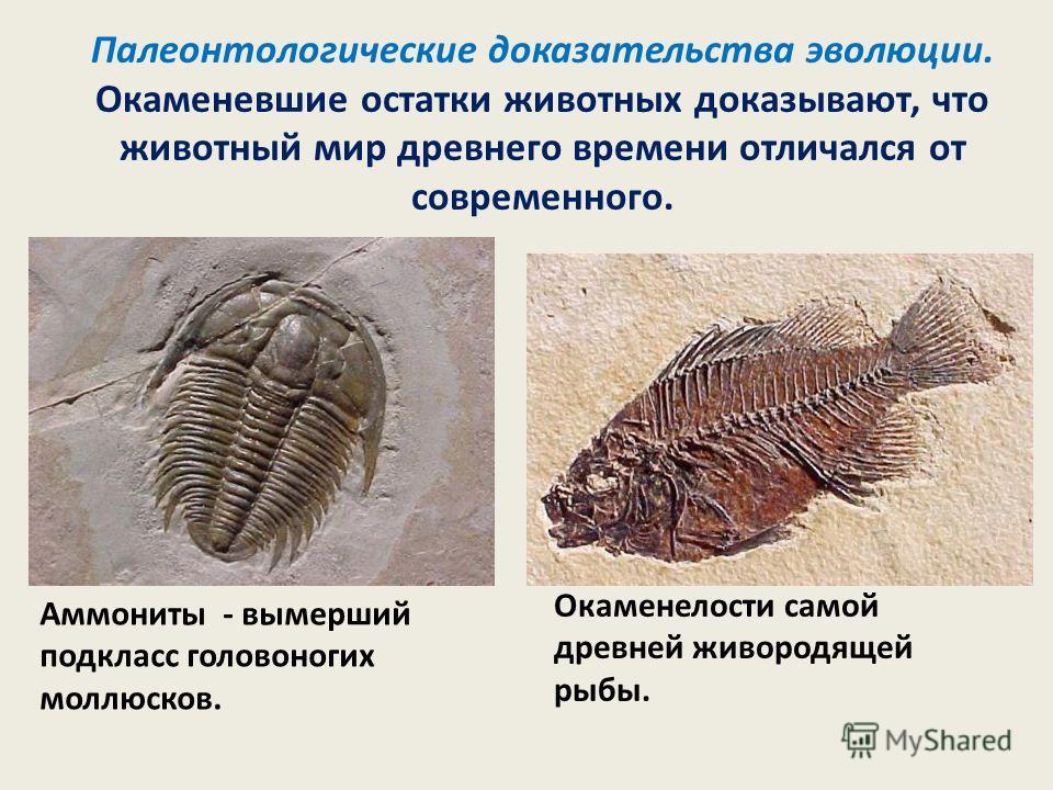 Палеонтологические доказательства эволюции. Окаменевшие остатки животных доказывают, что животный мир древнего времени отличался от современного. Аммониты - вымерший подкласс головоногих моллюсков. Окаменелости самой древней живородящей рыбы.