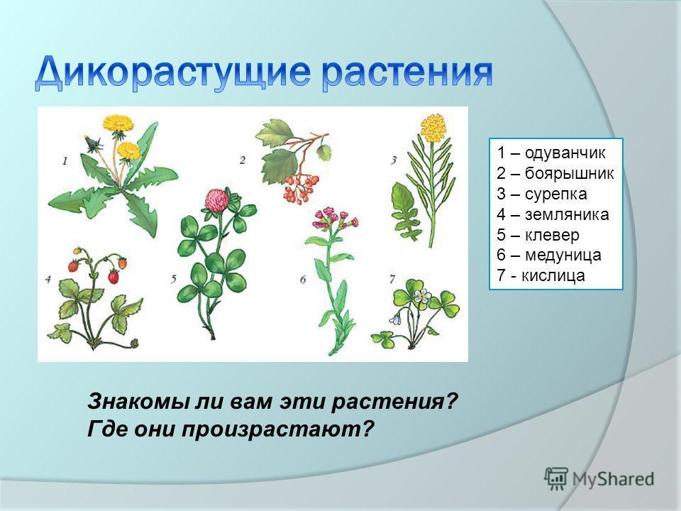 1 – одуванчик 2 – боярышник 3 – сурепка 4 – земляника 5 – клевер 6 – медуница 7 - кислица Знакомы ли вам эти растения? Где они произрастают?