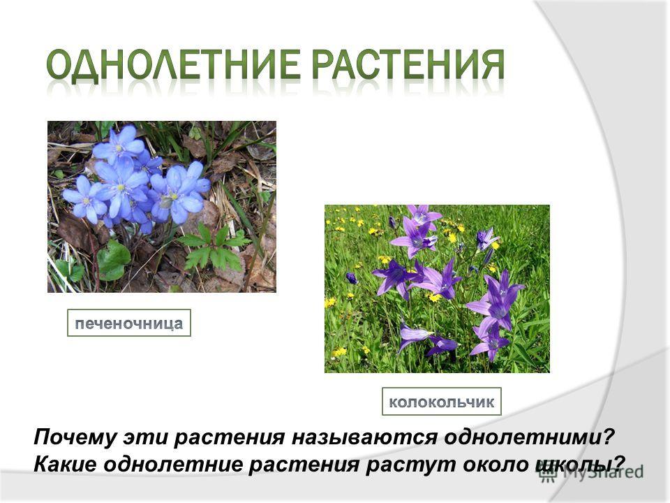 Почему эти растения называются однолетними? Какие однолетние растения растут около школы?