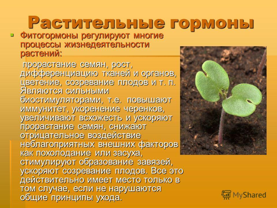 Растительные гормоны Фитогормоны регулируют многие процессы жизнедеятельности растений: Фитогормоны регулируют многие процессы жизнедеятельности растений: прорастание семян, рост, дифференциацию тканей и органов, цветение, созревание плодов и т. п. Я
