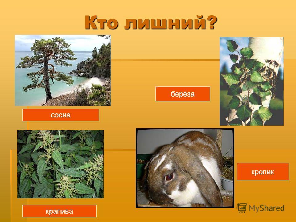 сосна крапива берёза кролик Кто лишний?