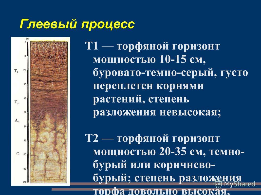 Глеевый процесс T1 торфяной горизонт мощностью 10-15 см, буровато-темно-серый, густо переплетен корнями растений, степень разложения невысокая; Т2 торфяной горизонт мощностью 20-35 см, темно- бурый или коричнево- бурый; степень разложения торфа довол