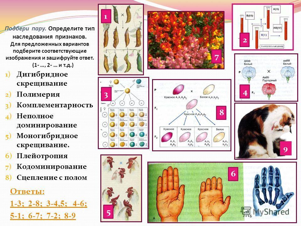 Подбери пару. Определите тип наследования признаков. Для предложенных вариантов подберите соответствующие изображения и зашифруйте ответ. (1- …, 2- … и т.д.) Ответы: 1-3; 2-8; 3-4,5; 4-6; 5-1; 6-7; 7-2; 8-9 1) Дигибридное скрещивание 2) Полимерия 3)