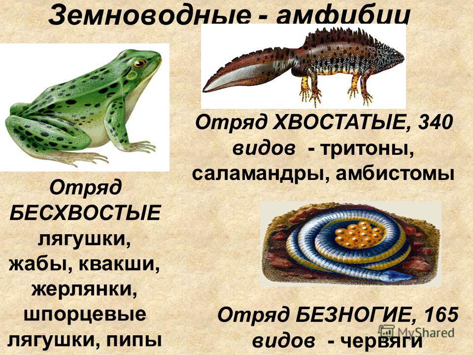 Земноводные - амфибии Отряд БЕСХВОСТЫЕ лягушки, жабы, квакши, жерлянки, шпорцевые лягушки, пипы Отряд ХВОСТАТЫЕ, 340 видов - тритоны, саламандры, амбистомы Отряд БЕЗНОГИЕ, 165 видов - червяги
