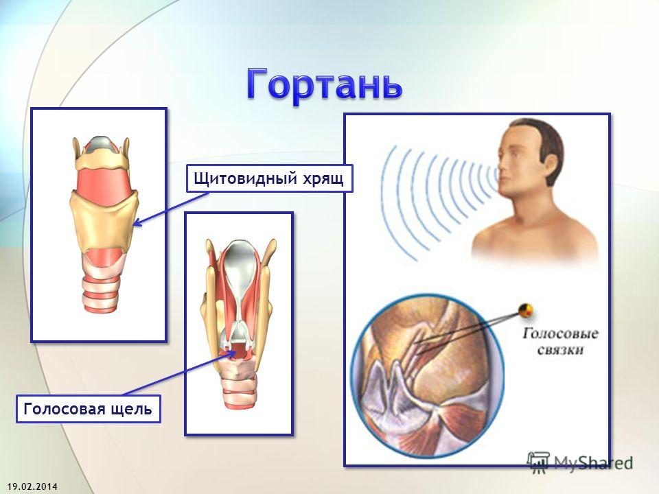 Голосовая щель Щитовидный хрящ 19.02.2014
