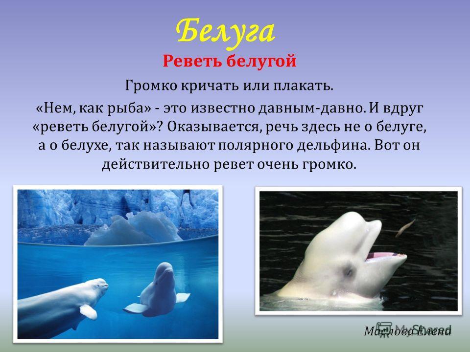 Белуга Реветь белугой Громко кричать или плакать. «Нем, как рыба» - это известно давным-давно. И вдруг «реветь белугой»? Оказывается, речь здесь не о белуге, а о белухе, так называют полярного дельфина. Вот он действительно ревет очень громко. Маслов