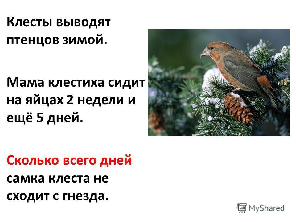 Клесты выводят птенцов зимой. Мама клестиха сидит на яйцах 2 недели и ещё 5 дней. Сколько всего дней самка клеста не сходит с гнезда.
