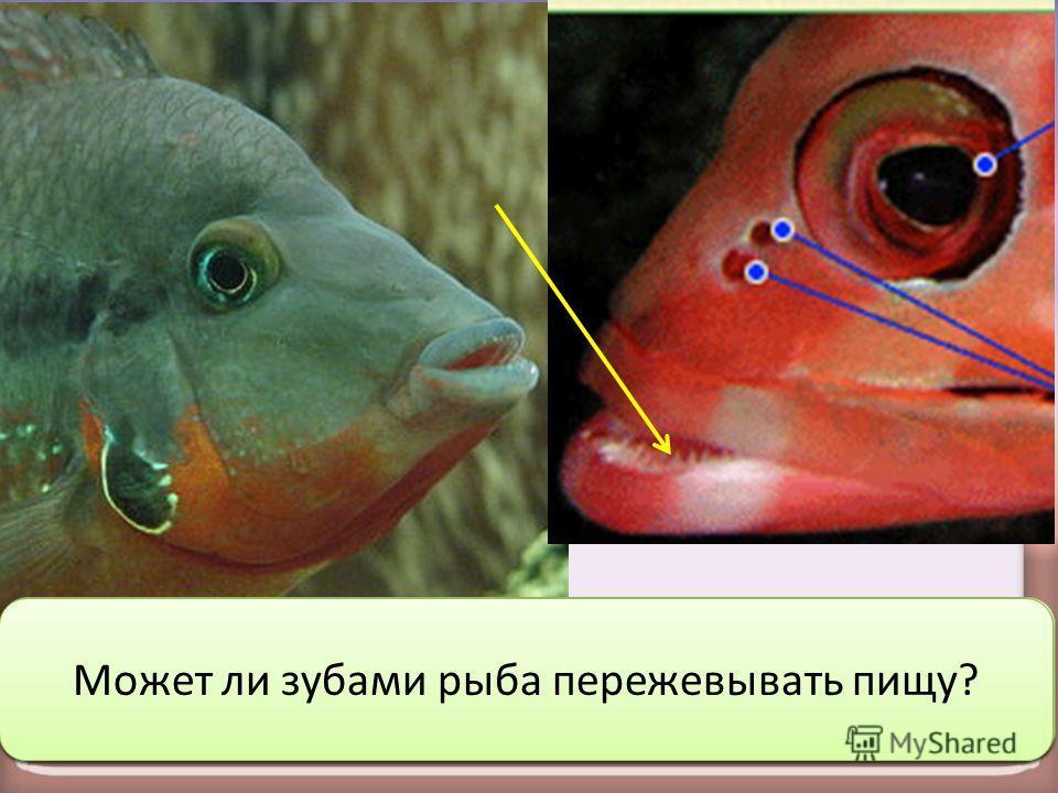 Какую новую информацию о пищеварительной системе вы можете обнаружить на этих фото? Как вы думаете, какую функцию выполняют зубы у рыб? Может ли зубами рыба пережевывать пищу?