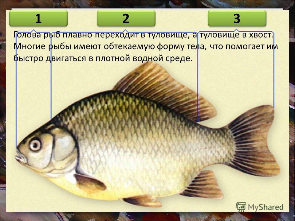 Голова рыб плавно переходит в туловище, а туловище в хвост. Многие рыбы имеют обтекаемую форму тела, что помогает им быстро двигаться в плотной водной среде. 2 2 1 1 3 3